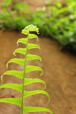 fern  large fern: Fern on the rockon the rock