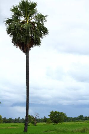 cambodian palm: Cambogiano palma e Paddy
