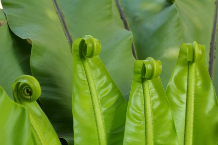 fern  large fern: Fern