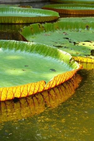Amazon lotus leaf  photo
