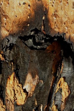 forest fire: �rbol quemado despu�s de un incendio forestal