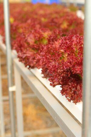 corallo rosso: Rosso corallo vegetale in fattoria idroponica
