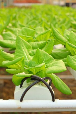 Butter head vegetable in hydroponic farm Stock Photo - 17744385