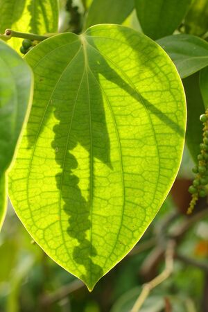 Fresh green peper on peper tree Stock Photo - 18066785
