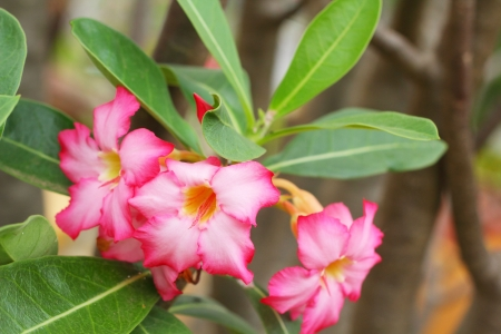 obesum: Impala lily adenium - pink flowers