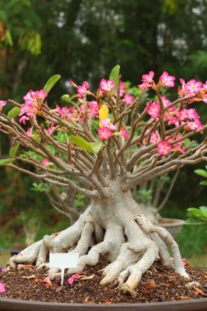 Impala lily adenium - pink flowers  Stock Photo - 18254269