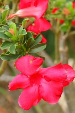 adenium obesum balf: Impala lily adenium - pink flowers