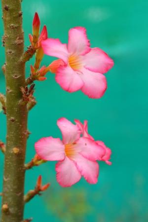 adenium: Impala lily adenium - pink flowers