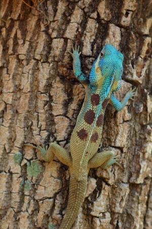 Bule thai lizard on tree photo