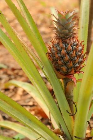 pineapple tree: Pi�a �rbol Foto de archivo