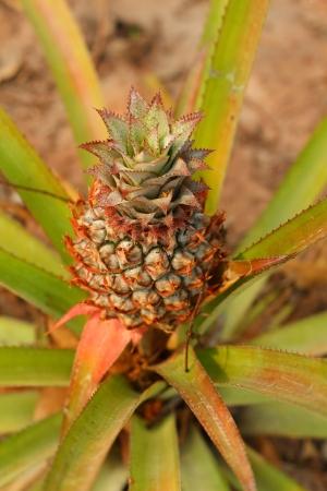 pineapple tree: �rbol Pi�a