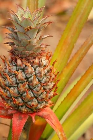 pineapple tree: ?rbol Pi?a