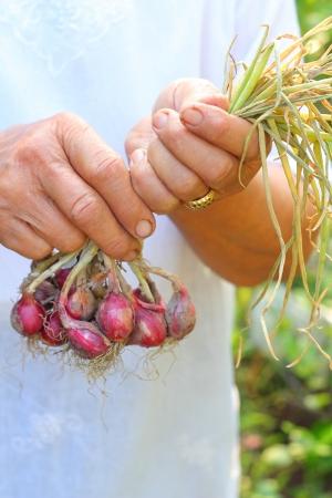 shallot: Shallot - asia red onion