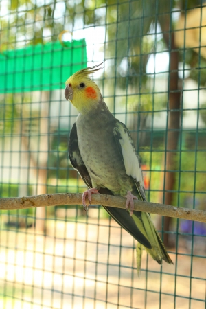 Yellow parrot sitting on wooden in bird cage  photo