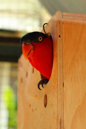 Red bird in home bird  photo