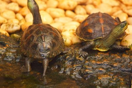 semi aquatic: Turtle red-eared slider  Trachemys scripta elegans  Stock Photo