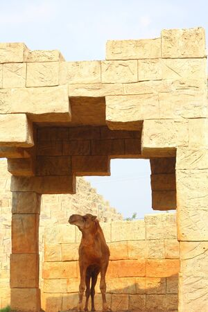 one humped: Camel in the zoo