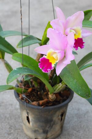 Cattleya orchids - pink flowers photo