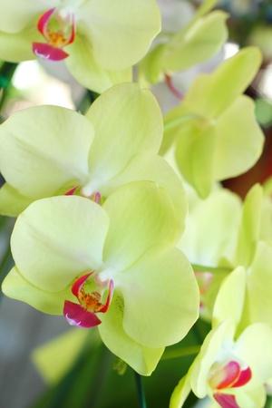 vanda: Orchid vanda - green flowers