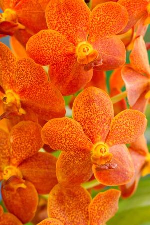 vanda: Orchid vanda - brown flowers