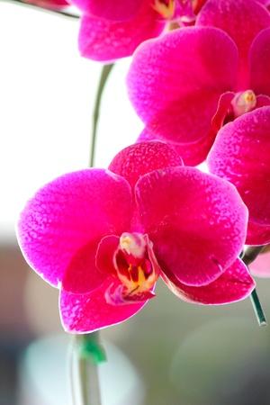 vanda: Orchid vanda - pink flowers