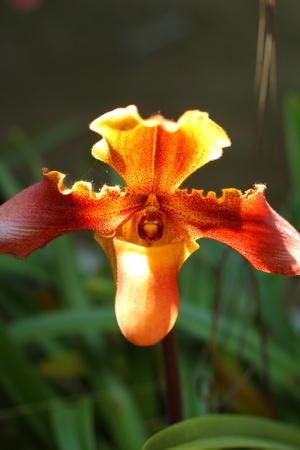 lady s: Se�ora s orqu�deas zapatilla - Paphiopedilum
