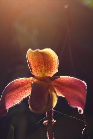 lady s: Lady s slipper orchid - Paphiopedilum Foto de archivo