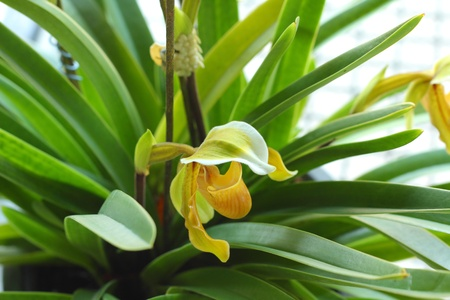 lady s: Lady s slipper orchid - Paphiopedilum Stock Photo
