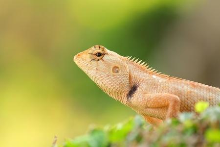 Brown thai lizard on tree photo