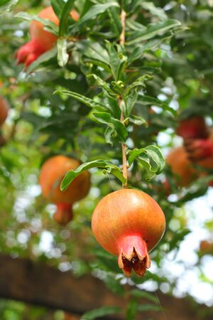 punica granatum: Punica granatum fruit Stock Photo