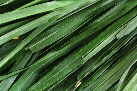 Vetiver grass for  animals. Stock Photo