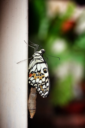 Butterfly after emerging from its chrysalis. photo