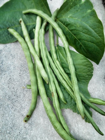 long bean on gray background Stock Photo - 23187268