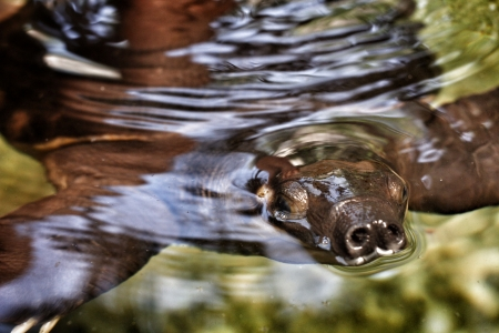 shelled: Soft shelled turtle in nature