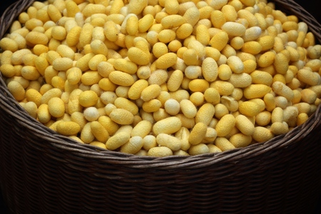 silkworm: a lot of yellow cocoon silkworm Stock Photo