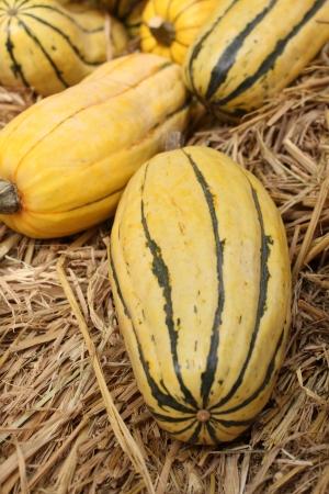 Butternut squash in the farm