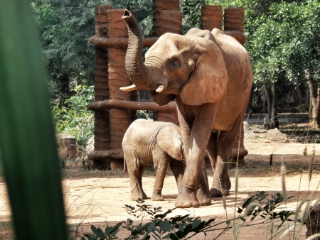 A baby and mother african elephant photo