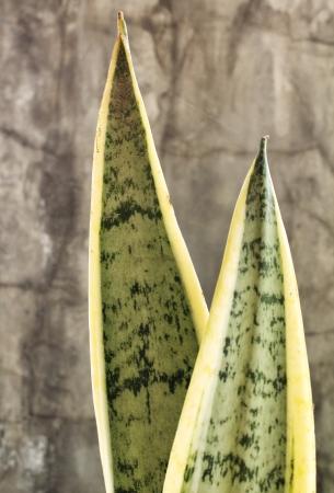 Snake plant background texture photo