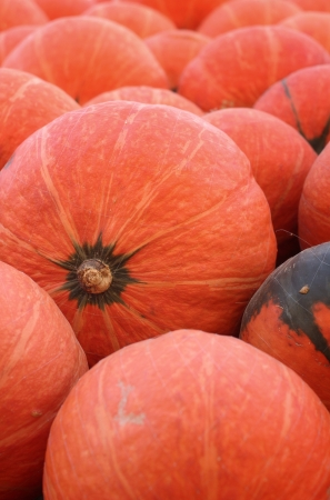 Harvest fresh pumpkin orange in the farm for halloween day photo
