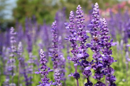 field of purple salvia flowers