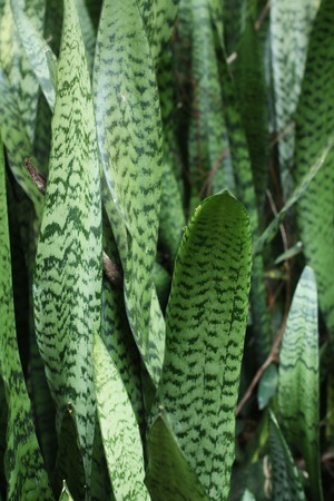 Snake plant background texture photo