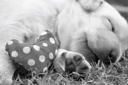 sleeping labrador puppies on green grass and red fabric heart for valentines day