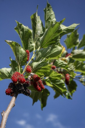 Mulberry on tree and blue sky photo