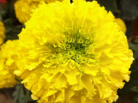 tagetes: close up of marigold flower Stock Photo