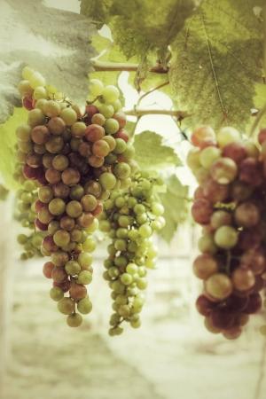 Trauben mit grünen Blättern auf der Rebe im Weinberg Standard-Bild