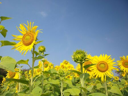 field of blooming sunflowers in summer photo