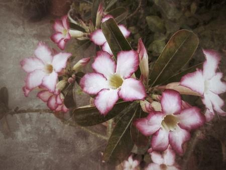 Impala lily adenium - pink flowers Stock Photo - 25582171