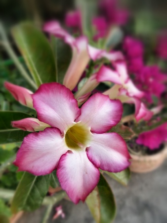 Impala lily adenium - pink flowers Stock Photo - 25703561