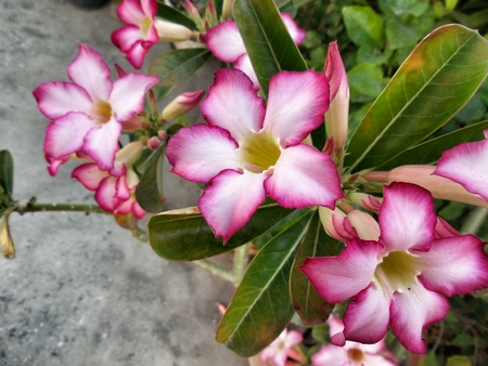 Impala lily adenium - pink flowers Stock Photo - 25703566