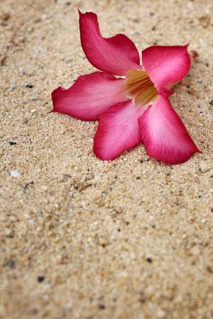 Impala lily adenium - pink flowers Stock Photo - 26066313